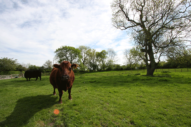 Whitley Elm Fields and Cows